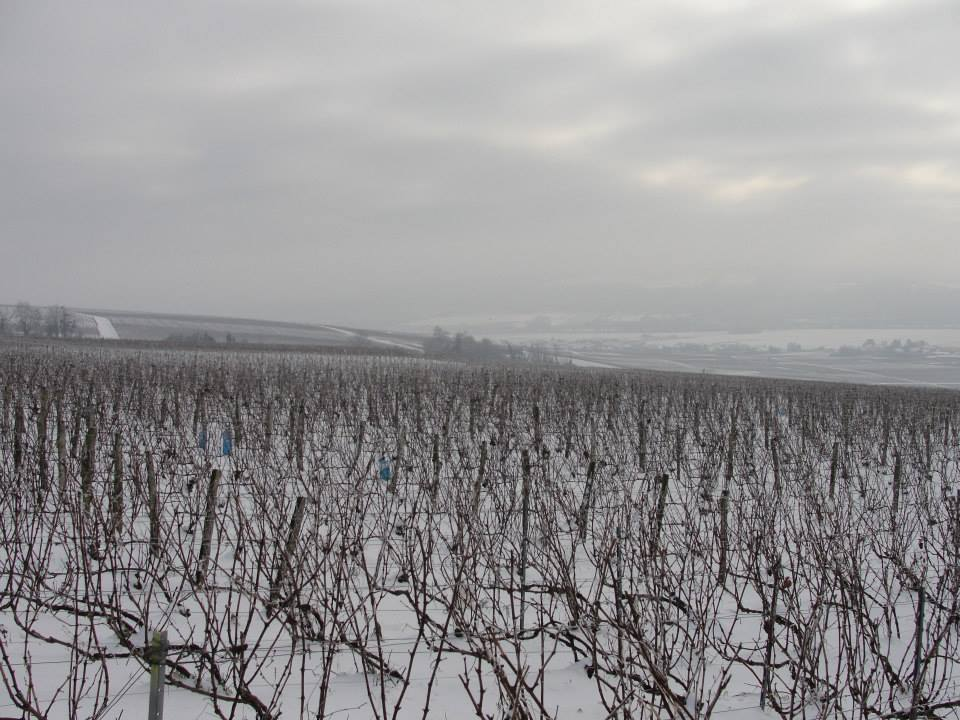 Not pruned vines in snow