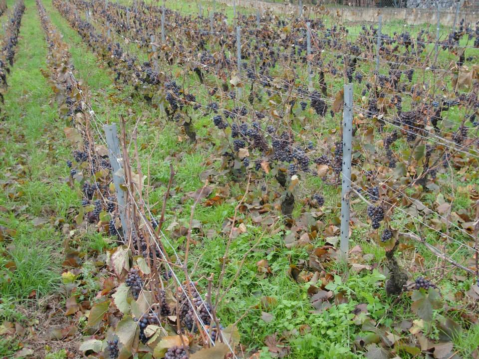 Unharvested grapes